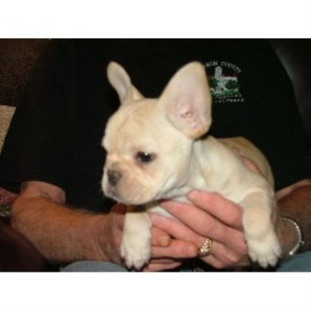Alis Sweet Frenchies French Bulldog Breeder In Rogersville Missouri