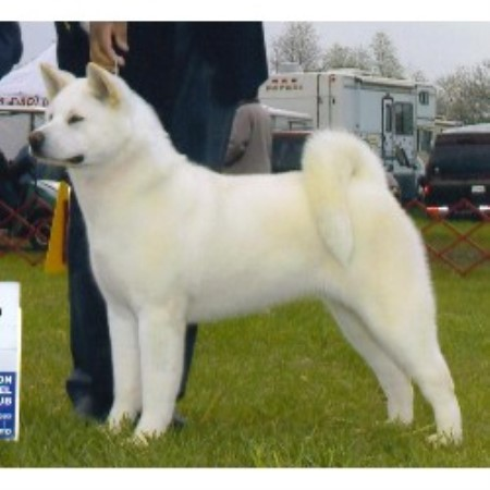 Akitas for sale in all states