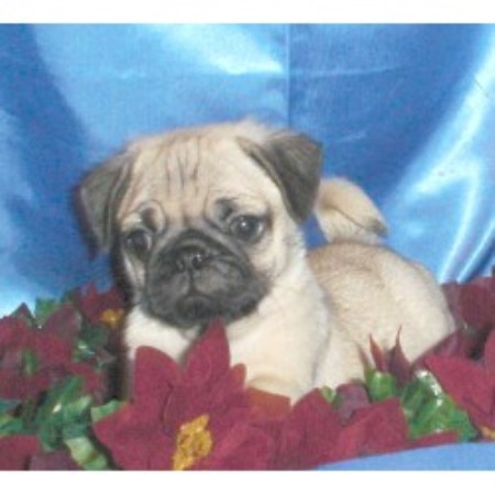 Amelia Mckay Cavaliers And Pugs, Pug Breeder in Shepherdsville, Kentucky