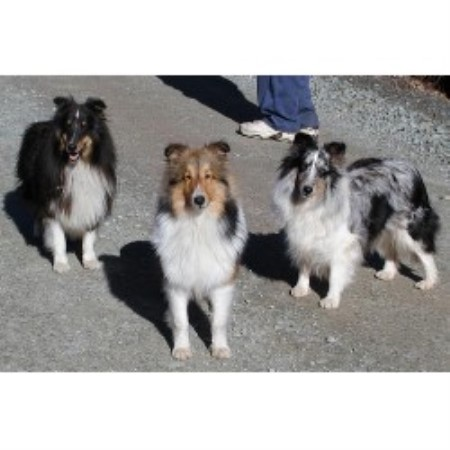 Shetland Sheepdog breeder in Pennsylvania