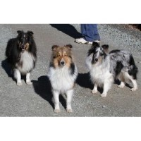 Calcurt Shelties