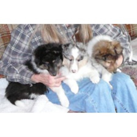 Shetland Sheepdog breedering kennel in Damascus