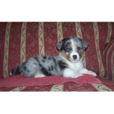 Cardigan Welsh Corgi Puppies Tx 5