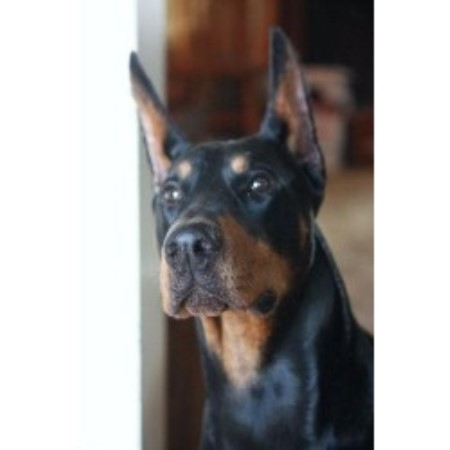 Doberman Pinscher breeder Wichita  8957