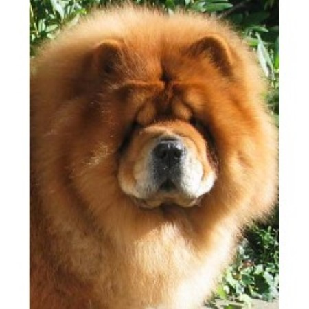 Intatto Chow Chows Chow Chow Breeder In Fort Worth Texas