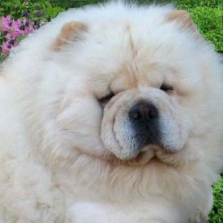 Chow Chow breeder Fort Worth 8958
