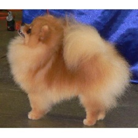 pomeranian breeders in pa pomeranian breeders in pennsylvania freedoglistings 4430