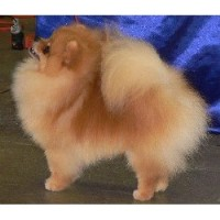Search Locally For Pomeranian Puppies And Dogs Nearest You Freedoglistings Page 1