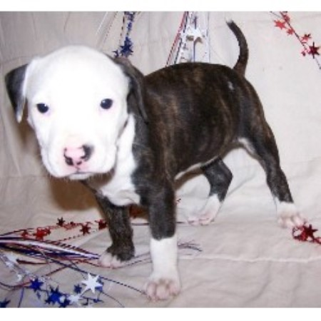 Mountain Creek Kennel American Pit Bull Terrier Breeder In Evington Virginia