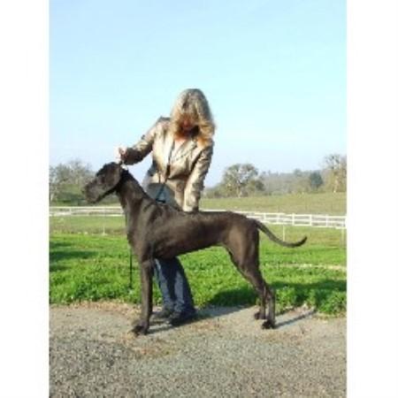 California Dreaming Great Danes Great Dane Breeder In Roseville California