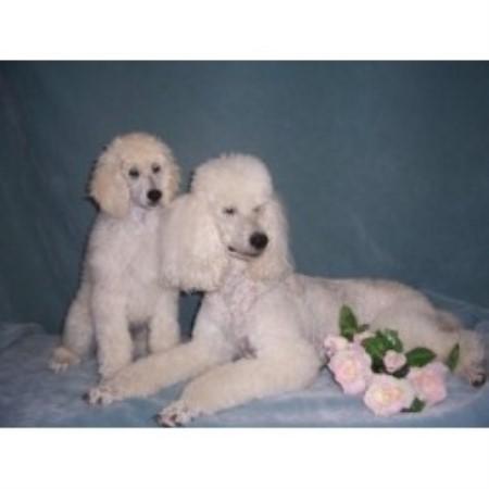 Rivers Edge Standard Poodles Poodle Standard Breeder In