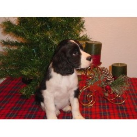 Spanish Water Dog Puppies For Sale California