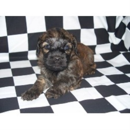 Spanish Water Dog Puppies For Sale Ontario