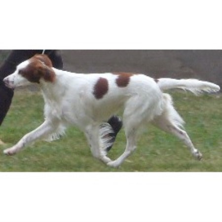 Irish Red And White Setter breeder in Modesto