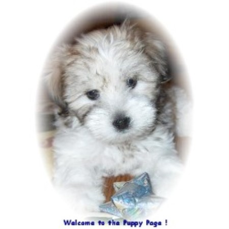 Coton De Tulear breeder New Castle 9266