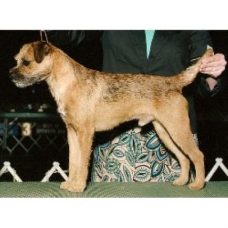 Joyful Border Terriers Border Terrier Breeder In