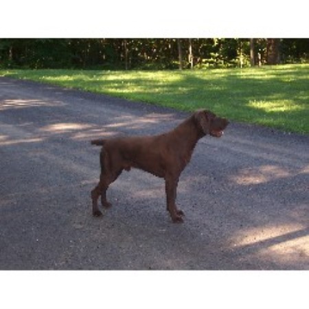 Huckle Hill Kennel German Shorthaired Pointer Breeder In Bernardston Massachusetts