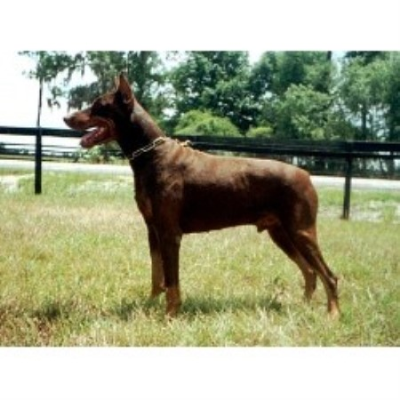 Quot Von Asgard Quot European Dobermann Kennel Doberman Pinscher Breeder In Myakka City Florida