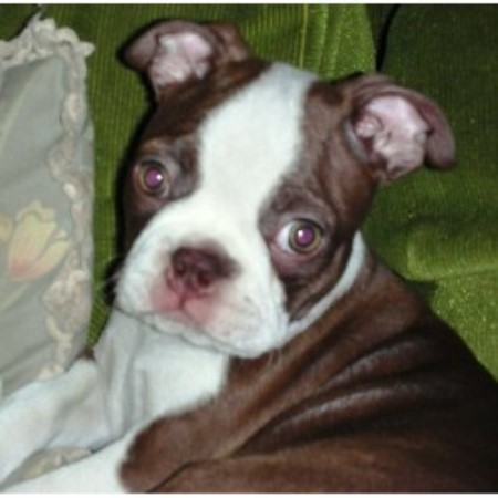 Boston Baby Buddies Boston Terrier Breeder In Palm Springs California