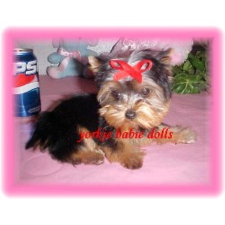 yorkie rescue arkansas yorkie babie dolls yorkshire terrier breeder in fort 2493