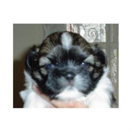 Puppy Patch Kids Shih Tzu Breeder In Mansfield Pennsylvania