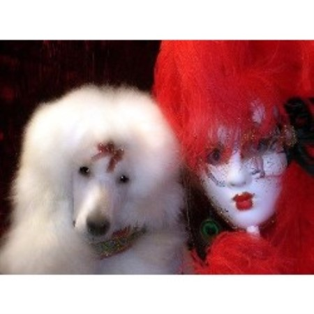Poodle Standard breeder in Suffolk