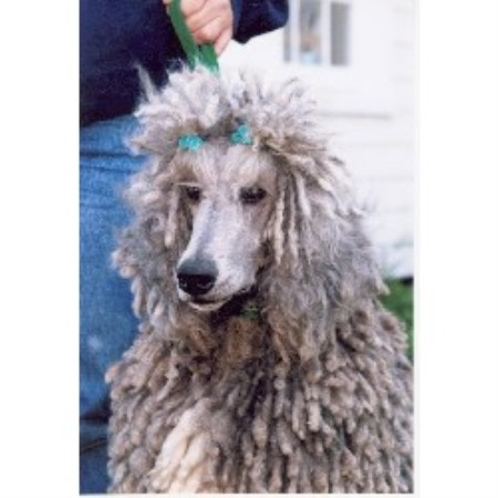 Poodle Standard breeder in Virginia