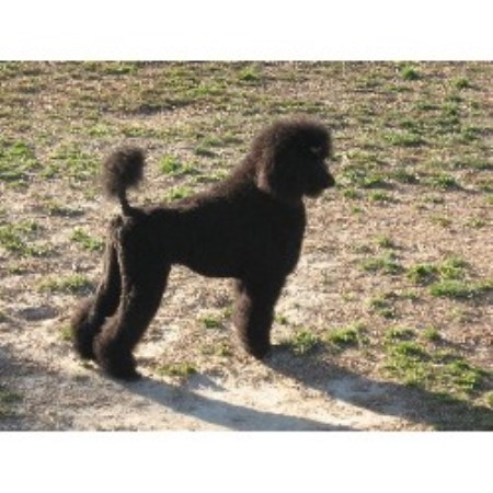 Poodle Standard breedering kennel in Suffolk
