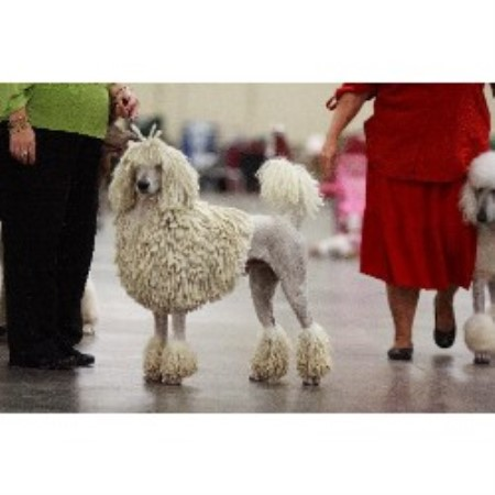Poodle Standard breeder in Suffolk, Virginia