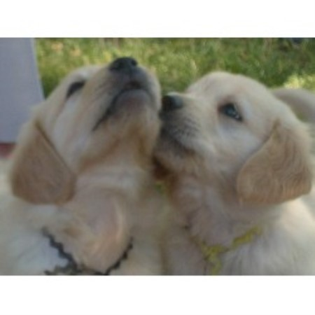 O Cribbs Golden Retrievers Golden Retriever breeder in