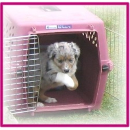 Aussie breeder in Port Orchard, Washington