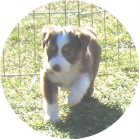 Miniature Australian Shepherd breeder in Port Orchard