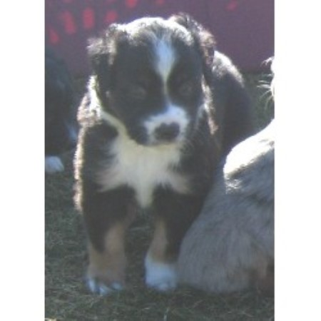 Miniature Australian Shepherd breedering kennel in Port Orchard