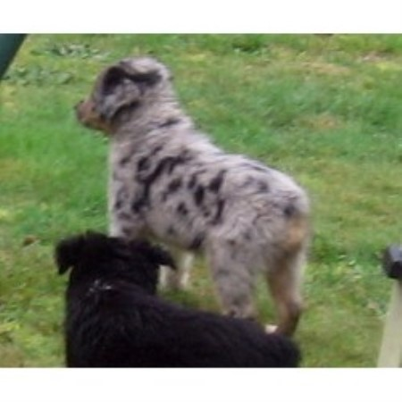 Miniature Australian Shepherd breeder in Washington