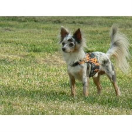 Chihuahua Breeders in South Carolina | FreeDogListings