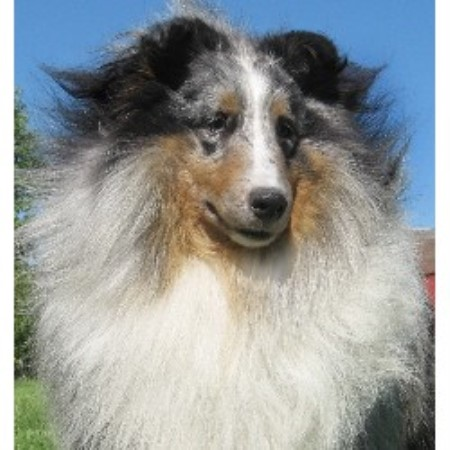 Bach Shelties Shetland Sheepdog Breeder In Troy Ohio