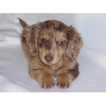Ny Akc Dachshunds Dachshund Breeder In Middletown New York