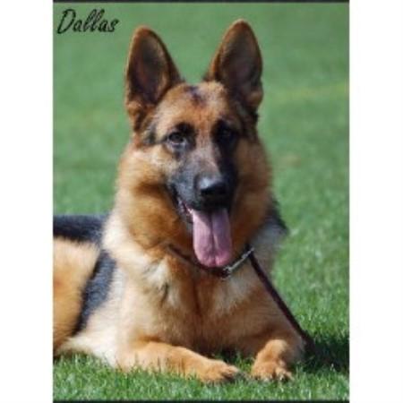 Vom Haus Hutfeld German Shepherd Dog Breeder In Wilton