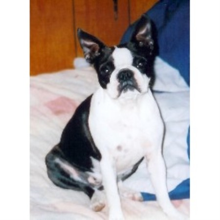 Freedom Bostons Boston Terrier Breeder In Wentworth New Hampshire