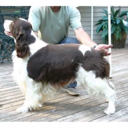 English Springer Spaniel breeder Gowen 9701