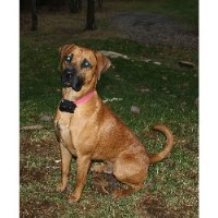 Black Mouth Cur Breeders Near You
