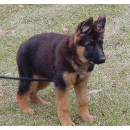 German Shepherd Dog Breeder 9788