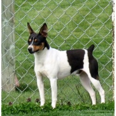 Clearbrook Kennels Rat Terrier Breeder In Sumas Washington