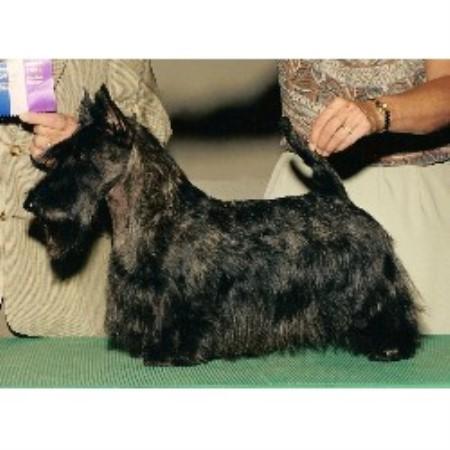 Cumbria Scottish Terriers Scottish Terrier Breeder In Belmont Michigan