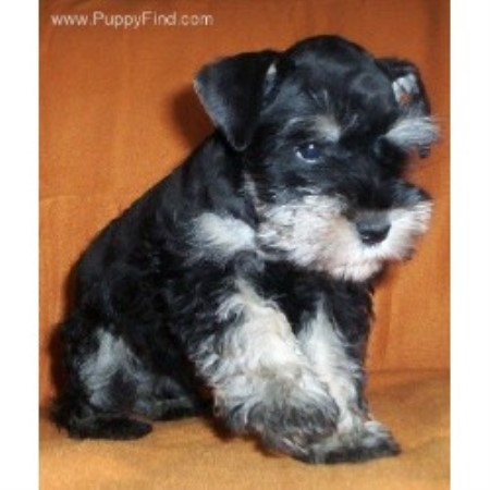 Miniature Schnauzer breeder in Stockton, Alabama