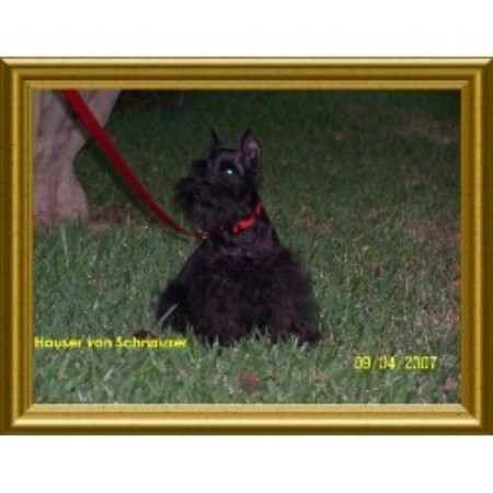 Miniature Schnauzer breeder in Stockton