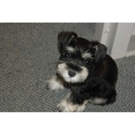 Miniature Schnauzer breedering kennel in Stockton
