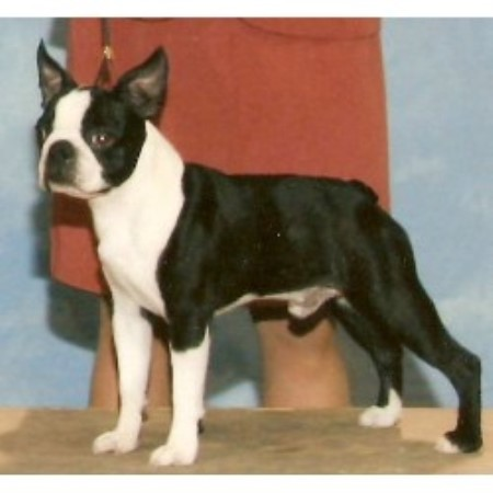 Boston Terrier Breeders In Texas Freedoglistings