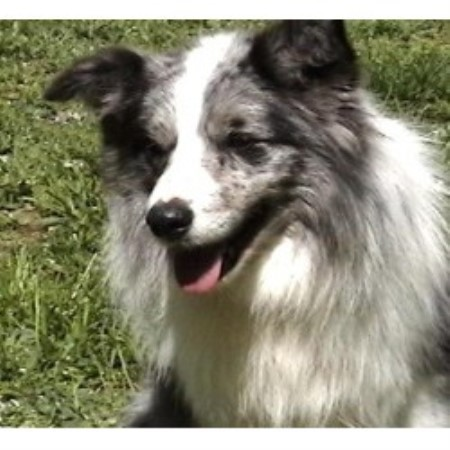 Border Collie breeder Gloucester 9874