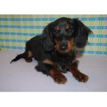 Dachshund breeder Scottsboro 9893